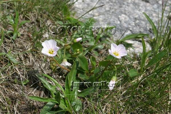 Цветы Саян.