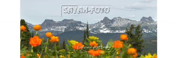 Цветы Саян. Ергаки