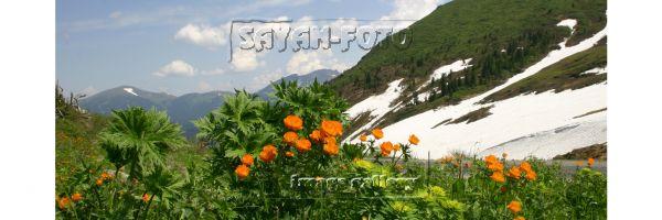 Цветы Саян. Жарки